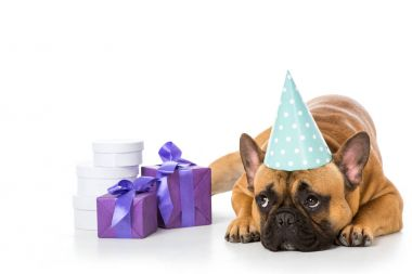 french bulldog in party cone lying near wrapped gifts isolated on white