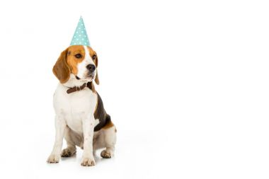 beagle dog in party cone isolated on white