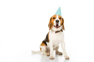 Beagle dog in party cone isolated on white stock vector