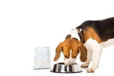 beagle eating dog food isolated on white