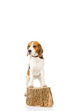 beagle dog in collar standing on wooden stump isolated on white