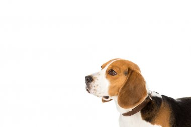 side view of cute beagle dog in collar isolated on white