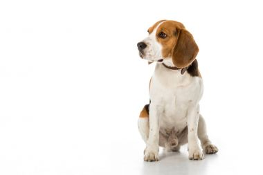 cute beagle dog in collar looking away isolated on white