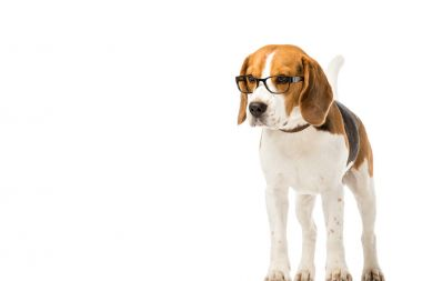 Adorable beagle dog wearing eyeglasses isolated on white stock vector