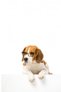 adorable beagle dog wearing eyeglasses isolated on white