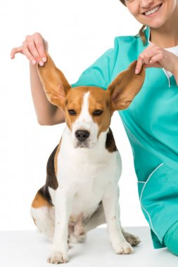 cropped shot of veterinarian holding beagle dogs big ears isolated on white