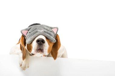 cute beagle dog wearing sleeping mask isolated on white