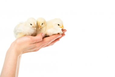 Partial view of woman holding cute little chicks in hands isolated on white stock vector