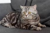 Fotografie adorable scottish straight cat sitting on cozy grey sofa