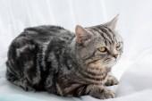 Close-up shot rozkošný skotský rovný kočka ležící na okenní parapet