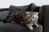 Fotografie rozkošný skotský rovný kočka leží na gauči doma