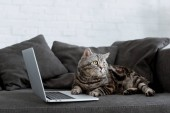 Fotografie cute scottish straight cat with laptop on couch