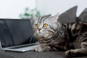 Photo close-up shot of cute scottish straight cat with laptop on couch