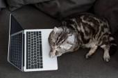 Fotografie pohled z vysokého úhlu rozkošný skotský rovný Cat s notebookem na gauči