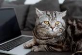 Detailní záběr rozkošný skotský rovný Cat s notebookem na gauči