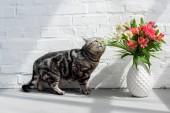 rozkošný skotský rovný cat čichání krásnou kytici ve váze