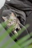 Fotografie rozkošný skotský rovný kočka sedí na gauči s rozmazané palmové listy na popředí