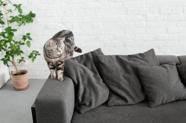 çok güzel İskoç düz kedi evde rahat kanepede