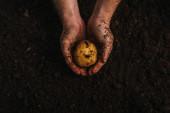 částečný pohled na špinavého farmáře držícího zralé brambory v zemi