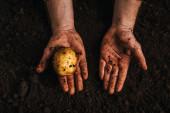 oříznutý pohled na zemědělce držícího zralé přírodní brambory v zemi