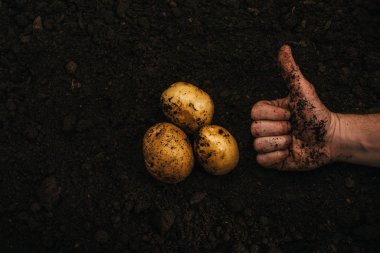 cropped view of farmer showing thumb up near ripe natural potatoes in ground