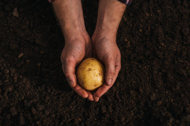 partial view of dirty farmer holding ripe potato in ground