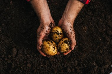 cropped view of farmer holding ripe natural potatoes in ground