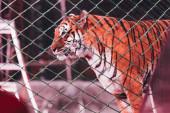 Kyjev, Ukrajina - 1. listopadu 2019: Selektivní zaměření tygra za sítí cirkusového jeviště