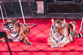 KYIV, UKRAINE - NOVEMBER 1, 2019: Selective focus of two tigers lying on circus stage beside equipment