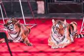 Kyjev, Ukrajina - 1. listopadu 2019: Selektivní zaměření dvou tygrů ležících na jevišti vedle vybavení