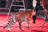 Kyjev, Ukrajina - 1. listopadu 2019: Selektivní zaměření handleru vystupujícího s tygry za mřížkou cirkusové arény