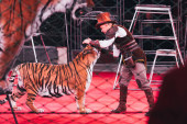 Kijev, Ukrajna - 2019. november 1.: Side view of handler performing with tiger in circus