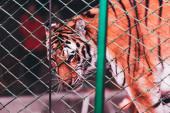Kijev, Ukrajna - 2019. november 1.: A tigris szelektív fókusza a cirkuszi színpad hálója mögött