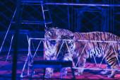 Kijev, Ukrajna - 2019. november 1.: Tigrisek felszereléssel a cirkuszi szakaszban
