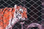 Kyjev, Ukrajina - 1. listopadu 2019: Tygr za sítí cirkusové arény