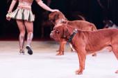 A cirkuszban a dogue de bordeaux-val fellépő összekötő levágott képe