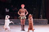 kyiv, ukraine - 1. November 2019: lächelnder Hundeführer, der im Zirkus einen Trick mit Dogue de Bordeaux vorführt
