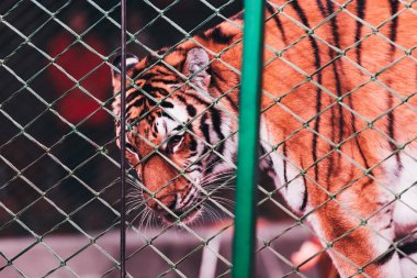 KYIV, UKRAINE - NOVEMBER 1, 2019: Selective focus of tiger behind net of circus stage stock vector