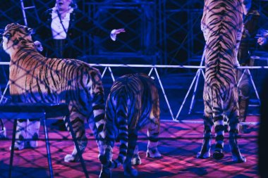 KYIV, UKRAINE - NOVEMBER 1, 2019: Cropped view of handlers performing with tigers in circus stock vector