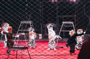 KYIV, UKRAINE - NOVEMBER 1, 2019: Back view of handlers performing trick with tigers behind grid of circus arena stock vector