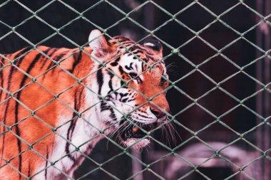 KYIV, UKRAINE - NOVEMBER 1, 2019: Tiger behind net of circus arena stock vector