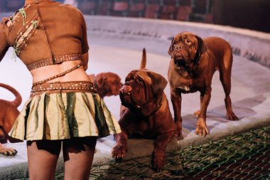 KYIV, UKRAINE - NOVEMBER 1, 2019: Cropped view of handler with dogue de bordeaux performing at circus arena stock vector