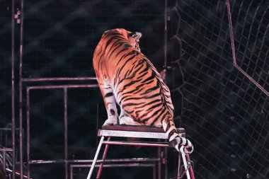 KYIV, UKRAINE - NOVEMBER 1, 2019: Selective focus of tiger sitting at stand behind net of circus arena stock vector