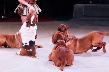 KYIV, UKRAINE - NOVEMBER 1, 2019: Cropped view of handler performing with dogue de bordeaux at circus stage stock vector