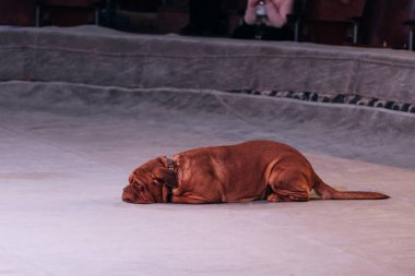 KYIV, UKRAINE - NOVEMBER 1, 2019: Selective focus of dogue de bordeaux lying on circus stage with viewer at background stock vector