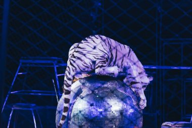 KYIV, UKRAINE - NOVEMBER 1, 2019: Selective focus of tiger on mirror ball behind grid of circus stage stock vector