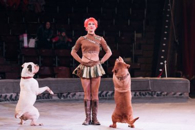KYIV, UKRAINE - NOVEMBER 1, 2019: Smiling handler performing trick with dogue de bordeaux in circus stock vector