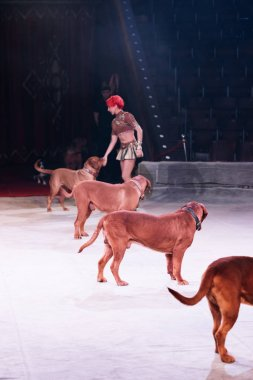 KYIV, UKRAINE - NOVEMBER 1, 2019: Side view of beautiful handler doing trick with dogue de bordeaux at circus arena stock vector