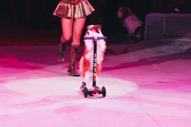 KYIV, UKRAINE - NOVEMBER 1, 2019: Cropped view of handler performing with dog on scooter in circus stock vector