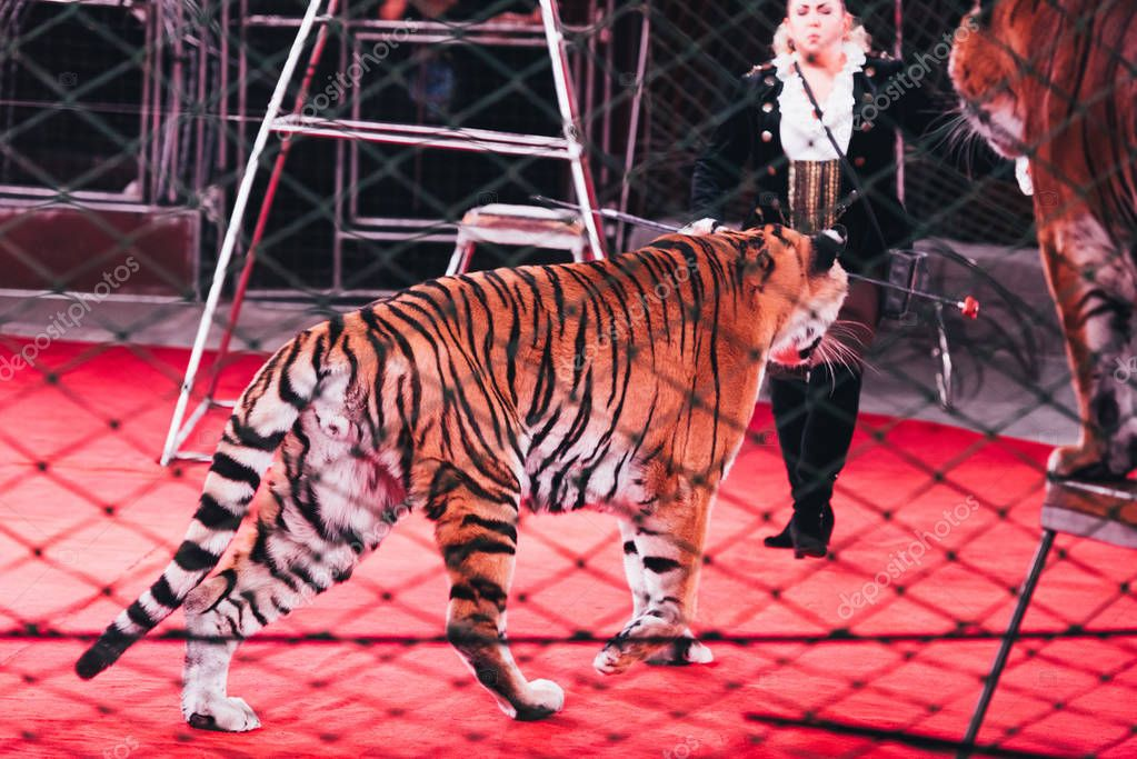 KYIV, UKRAINE - NOVEMBER 1, 2019: Selective focus of handler performing with tigers behind grid of circus arena stock vector